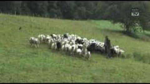 30 Schafe in Hirschbach gestohlen