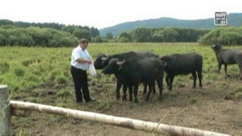 Ankündigung Wasserbüffel und Landschaftspflege an der Maltsch