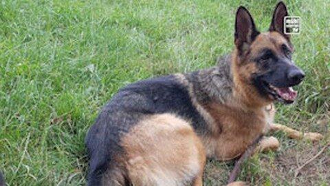 Schäferhund Heidi gesucht!