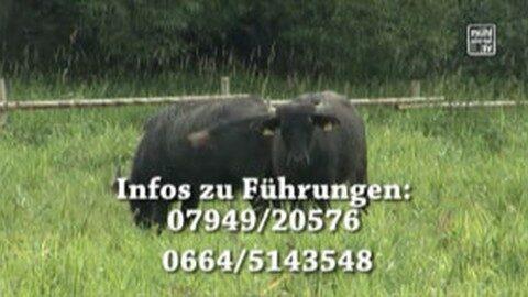 """Führung zum Thema """"Die Büffel sind los – Landschaftspflege im Europaschutzgebiet Maltsch"""""""