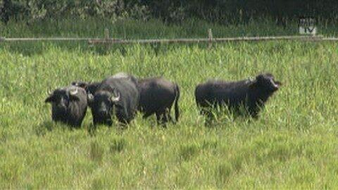 Wasserbüffel in Leopoldschlag